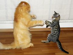 G&M-Kung Fu (E.L.A) Tags: family friends party two pet pets playing motion cute rivalry beautiful animal horizontal danger standing cat fur fun photography persian fight paw furry kitten feline funny play friendship dancing action pair tabby tail fear humor fulllength longhair kitty kittens nopeople anger indoors karate domestic together claw conflict concept fighting sideview facetoface ideas comparison domesticanimals garfield playful catfight domesticlife striped domesticcat hardwoodfloor furious gettyimages stockimages confrontation persiancat garfi colorimage twoanimals animalthemes animalhair bestcatphotos
