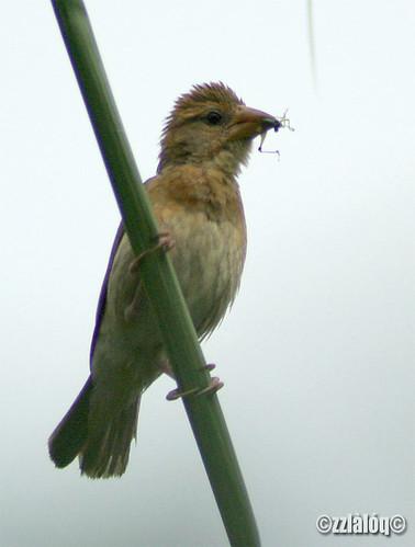 Burung Tempua @  Baya Weaver