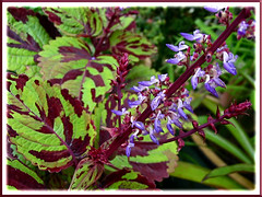 Coleus 'Careless Love' with lovely flowering spikes in our garden