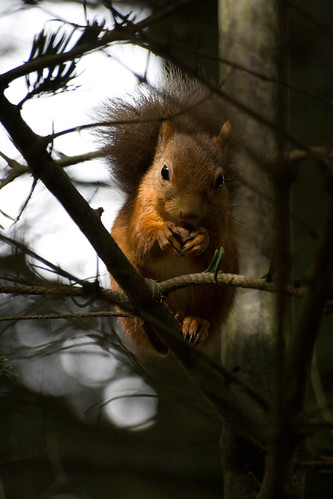 Squirrel - Cairngorm Highland Wildlife Park