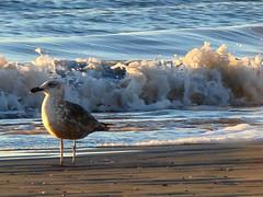 Duea de la playa (Fotos Bachi / Anala Cutri) Tags: sea beach mar seagull playa gaviota mardeaj analacutri