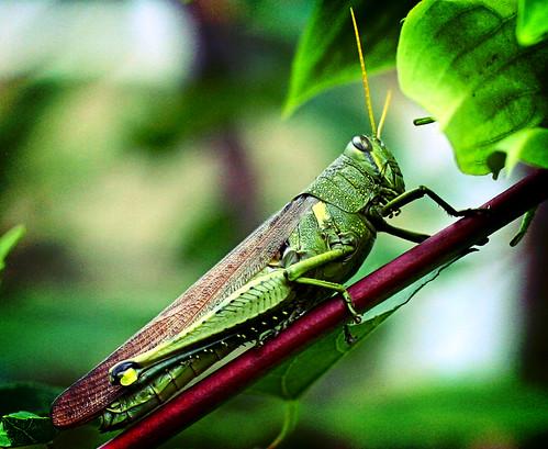 ah grasshopper lomo