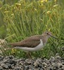 Common Sandpiper by Jackie During