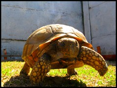 She is fast and furious :D (Les fleurs du mal) Tags: chile tortoise tortuga mascota regalona rancagua atenea tortugadetierra