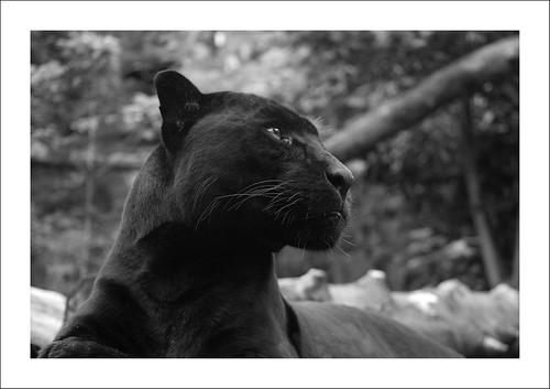 (Some) of (Felix's) black (Animal) morphs. 2881485803_8a3566364d