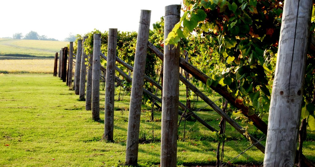 Mackinaw Vineyard 1