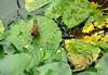frogsparrow2 (hamidhmz) Tags: پرنده توسط شکار قورباغه