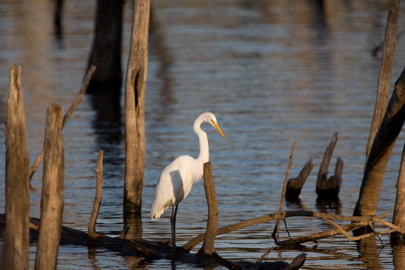great-egret-ff