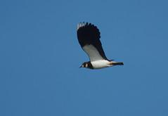 Lapwing (Chalto!) Tags: bird flight hampshire lapwing newforest plover pennington wader