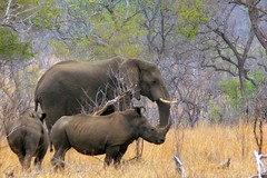 The big guys (Arno Meintjes Wildlife) Tags: africa wallpaper elephant nature poster southafrica bush wildlife ivory safari explore rhino elephants rsa krugernationalpark krugerpark africanelephant big5 knp naturesfinest loxodontaafricana parkstock i500 interestingness360 arnomeintjes