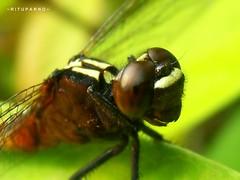???.......................Macrolicious!!! (~ Rituparno ~) Tags: india macro green nature insect dragonfly flies assam myfavourite dutta colortone macrolicious rituparno anawesomeshot aplusphoto theperfectphotographer