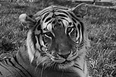 Tigre de l'amour (meunierd) Tags: africa park wild white black male animal jaune zoo noir leo quebec amor south tiger lion amour predator parc blanc bengal tigre sud afrique timbavati sauvage fauve panthera femelle hemmingford predateur matizanimal