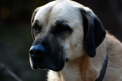 Watchkeeping (HopiNethou) Tags: dog chien dogs hund hunde chiens kangal