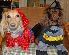 Spider Gal and Bat Ted (Doxieone) Tags: dog halloween costume spiderman dachshund batman halloweenfall2008set