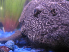 bigfish (Maicdlphin) Tags: fish macro canon aquarium purple powershot fishtank bigfish a590