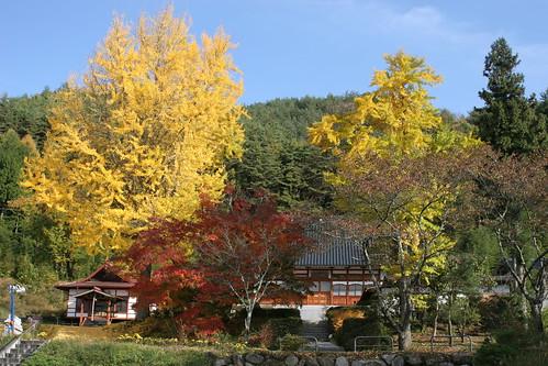 長野県池田町の長福寺 イチョウの黄葉