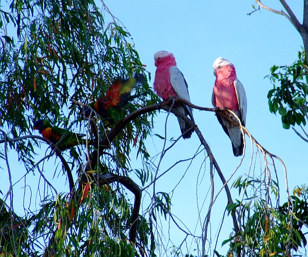 two galahs and two lories