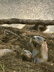 Otter Spray (digiphotonut) Tags: nature animal wildlife indiana otters oxbow riverotters otterfamily