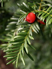 Only yew (ExeDave) Tags: uk autumn england plant tree nature berry flora october devon gb yew conifer yewtree starcross taxusbaccata slightcrop teignbridge natureselegantshots moreorlessastaken