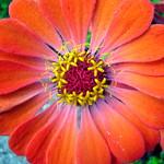 Orange Yellow Flower 1 thumbnail