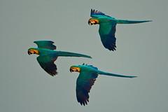 Ara ararauna (Hernan Povedano) Tags: southamerica birds bolivia colores grupo parrots ara sudamerica vuelo araararauna beni loros volando biodiversidad guacamayo haves avesaves povedano colorphotoaward hernanpovedano