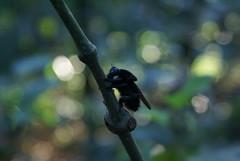 mamangava.mangava.mamangaba (Ivan Costa) Tags: black blur flower insect bokeh flor bee abelha inseto preta polen mamangava