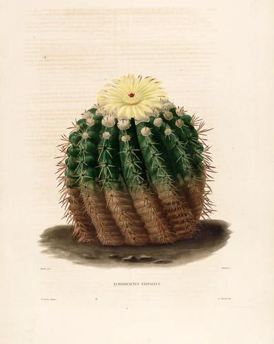 03-Echinocactus erinaceus