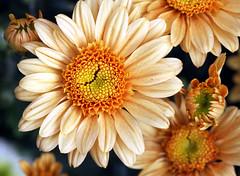 broken heart (xeno(x)) Tags: flowers macro art nature canon garden asia 2008 xeno bej 40d