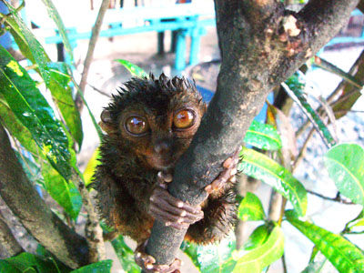 Wet Tarsier