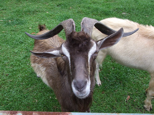 Goat with nice horns