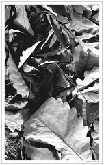 Fall in BW (jspmcmn) Tags: bw scannednegatives