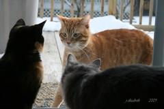 15 February 2009 039 (PondInk :) Tags: cats michigan kittens gatos wayland visitor furryfriends cherryontop kissablekats bestofcats anawesomeshot goldstaraward rubyphotographer somethingintheeyes memorycorner memorycornerportraits pondink furrificcats boc0209 catsmeaswwww
