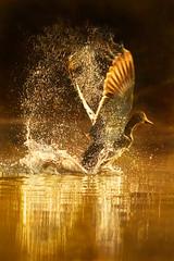 Wings of gold (hvhe1) Tags: holland bird nature water netherlands animal sunrise golden duck nationalpark drops wings bravo wildlife waterfowl biesbosch interestingness6 specanimal hvhe1 hennievanheerden impressedbeauty avianexcellence