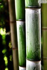 "Green bamboo <a style=""margin-left:10px; font-size:0.8em;"" href=""http://www.flickr.com/photos/24828582@N00/4558645488/"" target=""_blank"">@flickr</a>"