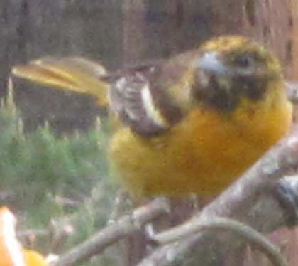 5.26.11 - Another look at our Strange Oriole