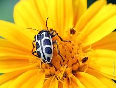 Besouro 10 (Mauricio Mercadante) Tags: beetle cerrado besouro coleoptero