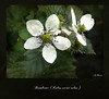 White blossom for peace (Mara ~earth light~) Tags: white flower love photoshop truth energy peace blackberry blossom expression joy creativecommons ourtime cityart brombeere textue romanceintheair moodcreations rubussectiorubus mara~earthlight~ untouchabledream itsallaboutflowers