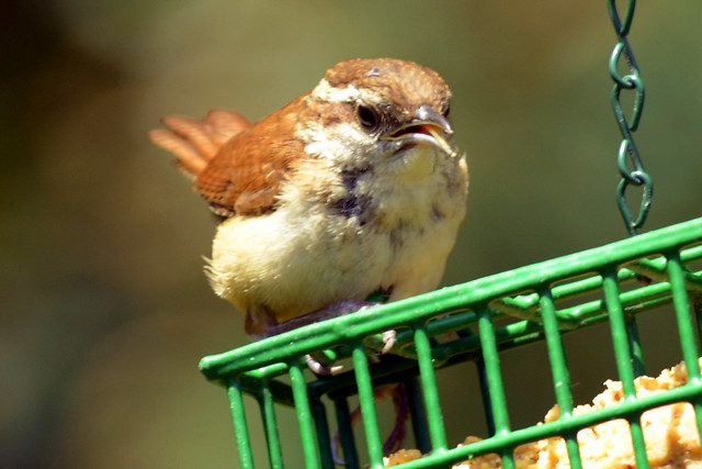 baby wren feeder june 2011