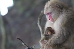 Happy Birthday! (June 14,2011 Explore ) (Masashi Mochida) Tags: birthday baby happy monkey mother awaji coth impressedbeauty natureselegantshots
