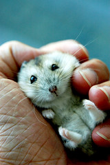 Blue type (EricFlickr) Tags: blue pet baby cute animal wonderful taiwan palm hammy drawf  hasmster