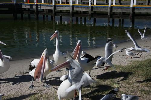 Pelican Madness at Lakes Entrance, VIC.