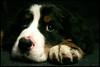 Donovan (Sartori Simone) Tags: dog cane geotagged donovan ©allrightsreserved beddu simonesartori diamondclassphotographer platinumheartaward thedoubledeckers lionellobrothers