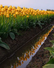 Tulip Reflection (JM Clark Photography (jamecl99)) Tags: reflection water yellow washington nikon tulip d200 mountvernon mtvernon goldstaraward landscapesofvillagesandfields fanflickrtastic top30greatreflections