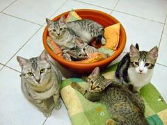 NANA and Kittens (Chrischang) Tags: pet animal cat nana kaka 貓 zaizai pawpaw banban 20080502