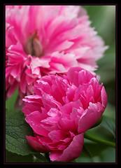 Peony dream (AnyMotion) Tags: pink flowers plants macro floral frankfurt peony makro 2008 pfingstrose naturesfinest anymotion paeoniaofficinalis platinumphoto awesomeblossoms