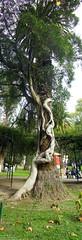 Palmera y parsito (mdiego_80) Tags: argentina buenos aires diego plata rbol zoolgico biology palmera marino botnico asociacin simbiosis biologa parsito dondeseescondeelsol dam80