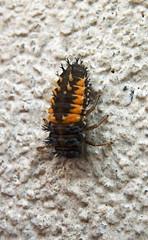 Die neue Marienkfer-Generation (5) (henscheck) Tags: insekt marienkfer nymphe tierwelt makrofotografie verpuppung