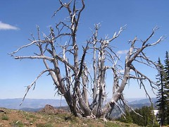 Silver trees just off of the summit