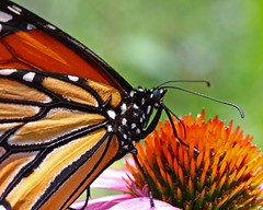 Monarch (Danaus plexippus) (tonyadcockphotos) Tags: macro closeup butterfly searchthebest echinacea insects monarch coneflower purpleconeflower butterflyhouse iloveit butterflygarden echinaceapurpurea danausplexippus bej top20flowersandbugs danvilleva danvillesciencecenter goldstaraward butterflystation amazingmacros superamazingmacrosaward