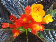 Chrysothemis pulchella (Copper Leaf) at our garden porch